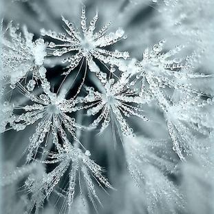 frosteddrops
